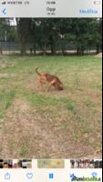 Vendo segugio Bloodhound o cane di Sant'Uberto